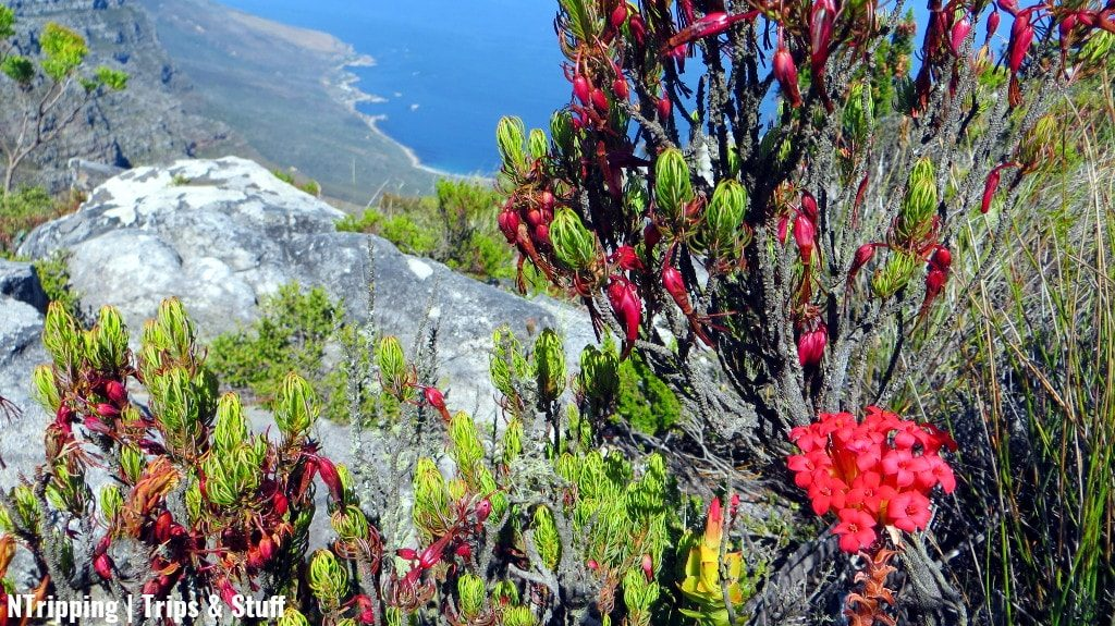 Flowers On Table Mountain